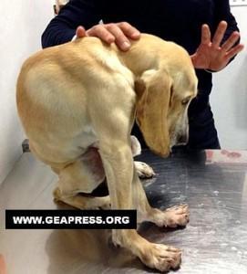 Immagine di Acquaviva delle Fonti (BA) – Il cucciolo accartocciato, cresciuto nelle gabbietta