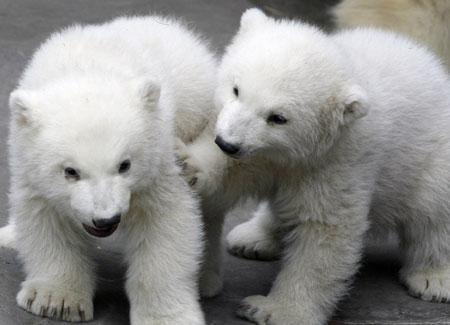 Immagine di La Puglia festeggia la nascita di due teneri orsacchiotti polari!